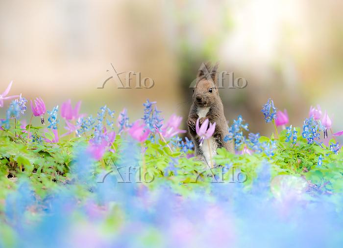 北海道 花畑のエゾリス