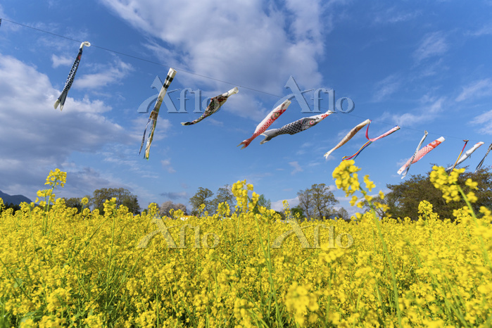 長野県 菜の花公園の菜の花と鯉のぼり
