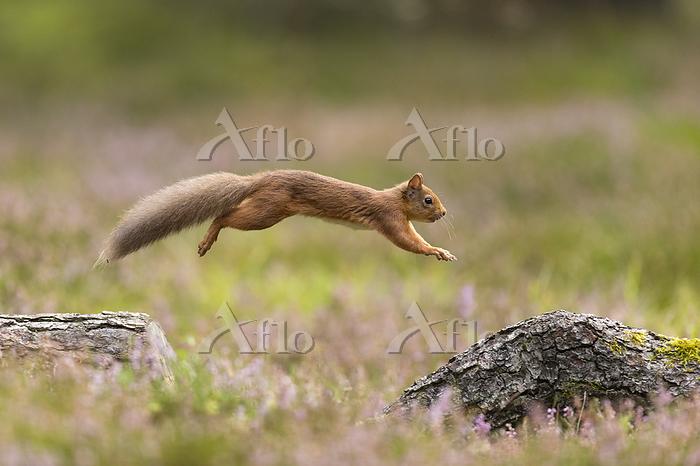 Red Squirrel (Sciurus vulgaris・・・