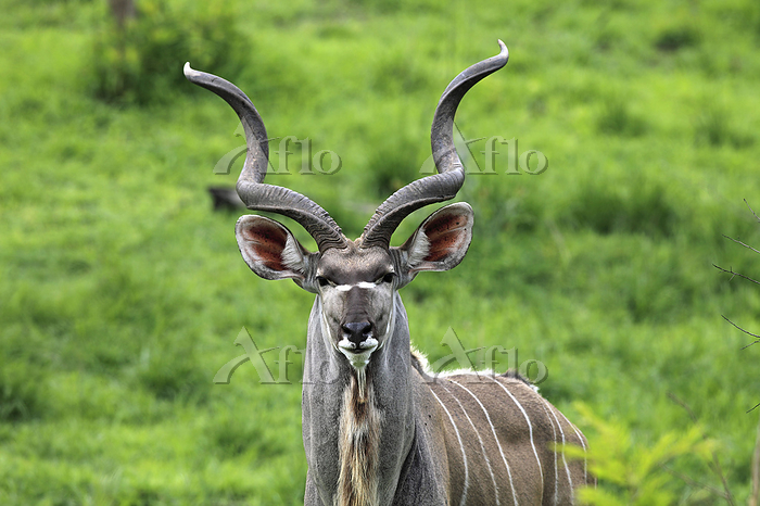 Greater Kudu in the PN Kruger ・・・