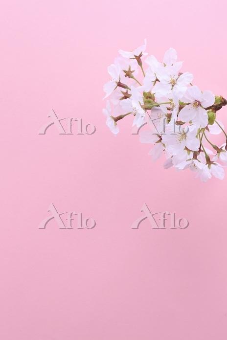 ソメイヨシノの花びら