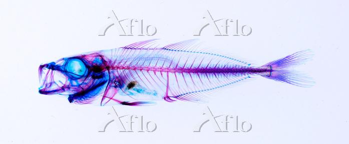 マアジ 透明骨格標本