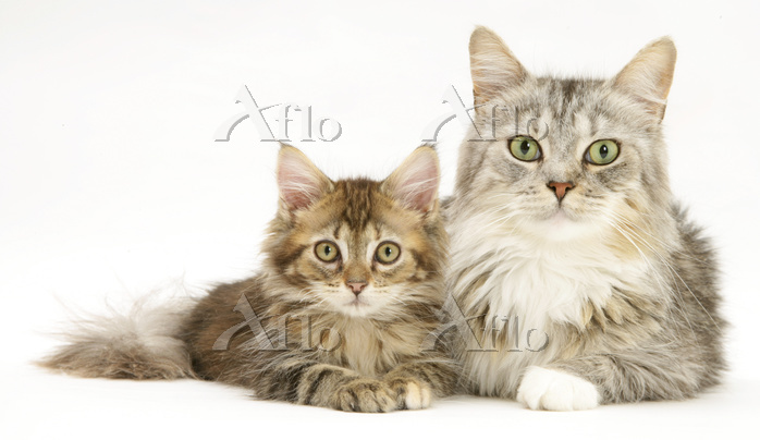 Maine Coon mother cat, Bambi, ・・・
