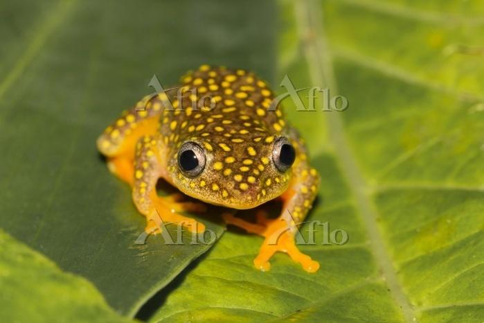 Whitebelly reed frog (Heterixa・・・
