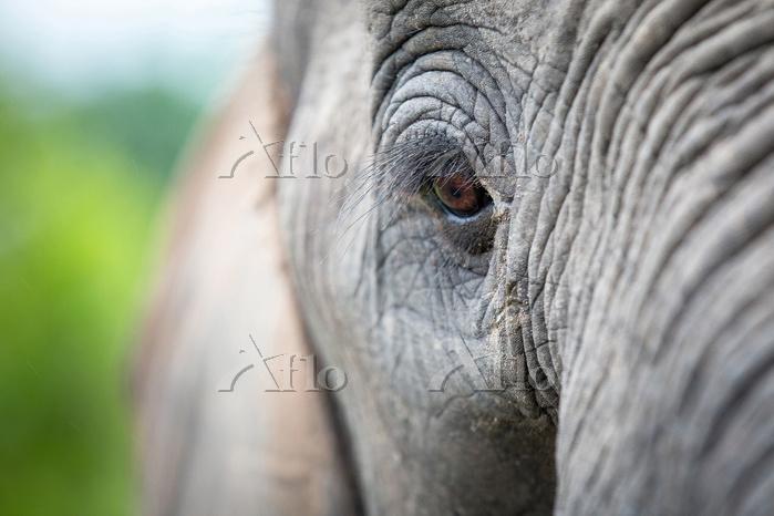 An elephant's eye, Loxodonta a・・・