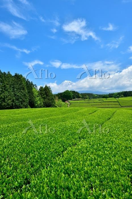 静岡県 富士山 大淵のお茶畑