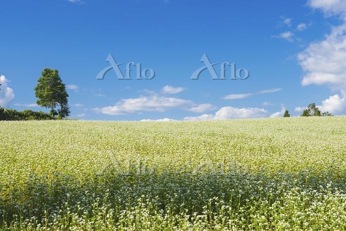 北海道 そば畑の丘