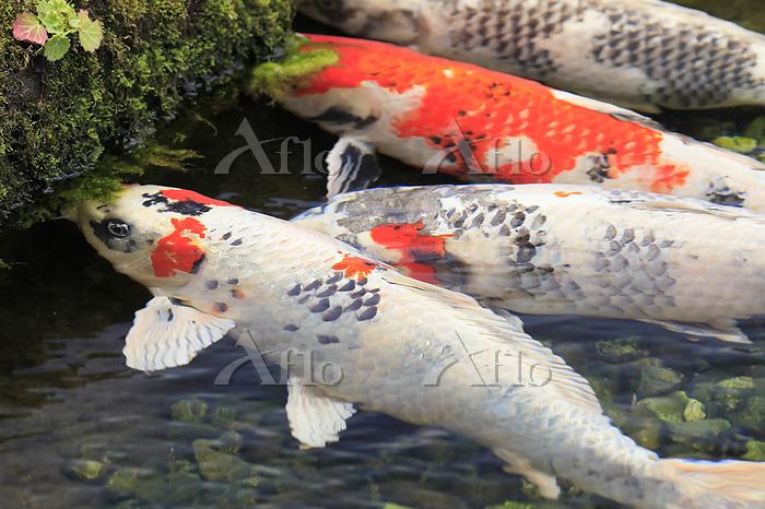 岩の藻を食べる錦鯉