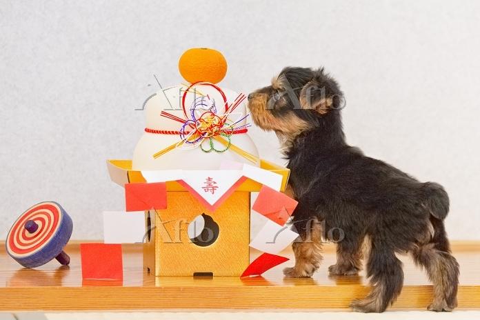 ヨークシャー・テリアの子犬