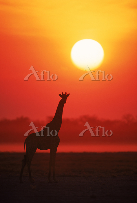 Giraffe silhouette at sunset. ・・・