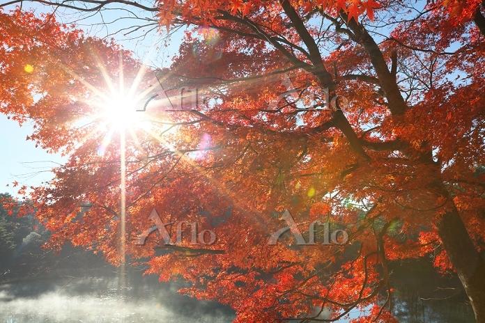 福島県 モミジの紅葉と木漏れ日