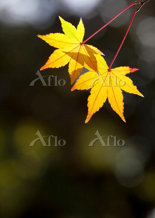 陰影を背にした二枚の黄色いモミジの葉
