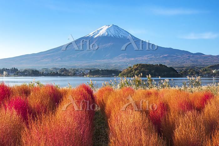 山梨県 富士河口湖町 富士山とコキア