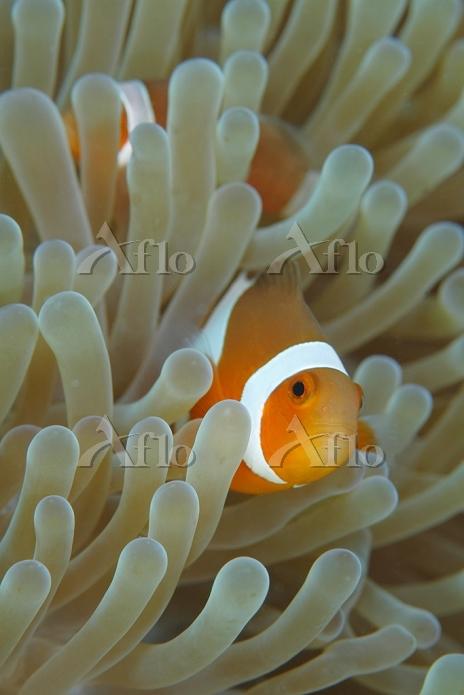 サンゴ礁のイメージ カクレクマノミ