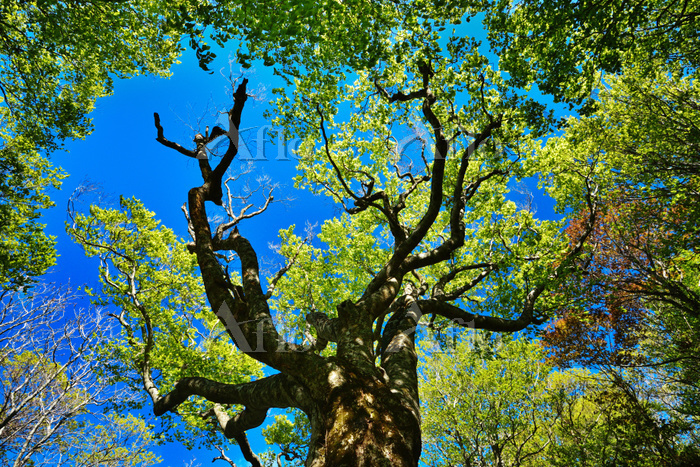 ブナ原生林の新緑