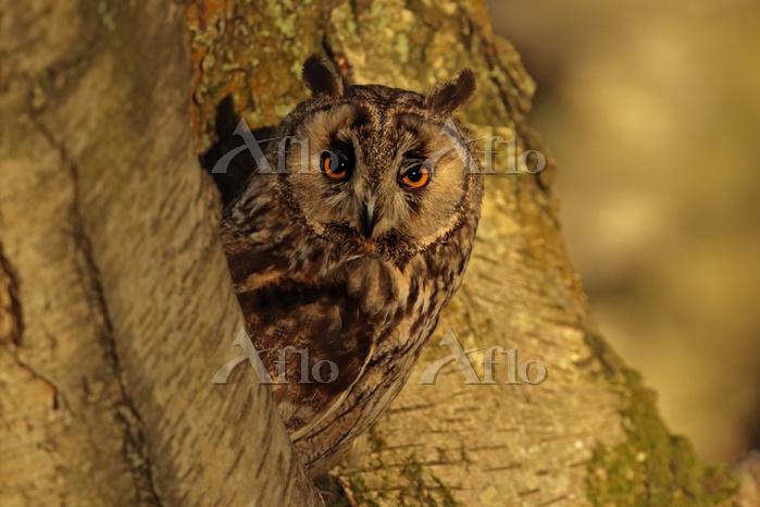 Long Eared Owl  (Asio otus)  i・・・
