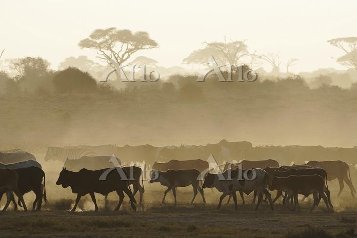 ケニア アフリカ ウシの群れ