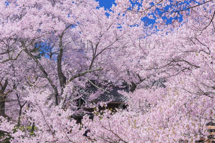 長野県 タカトオコヒガンザクラ咲く高遠城址公園