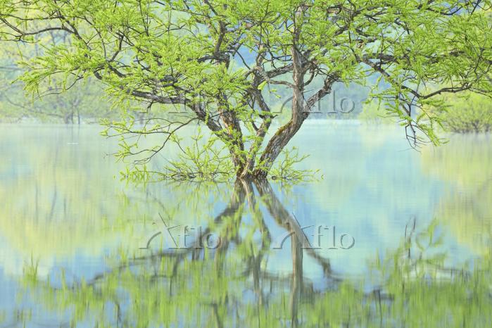 山形県 白川湖の水没林