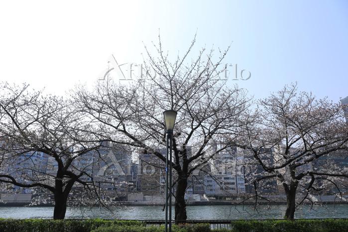 大阪府 桜のほころび(定点撮影30)