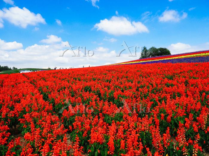 美瑛の花畑