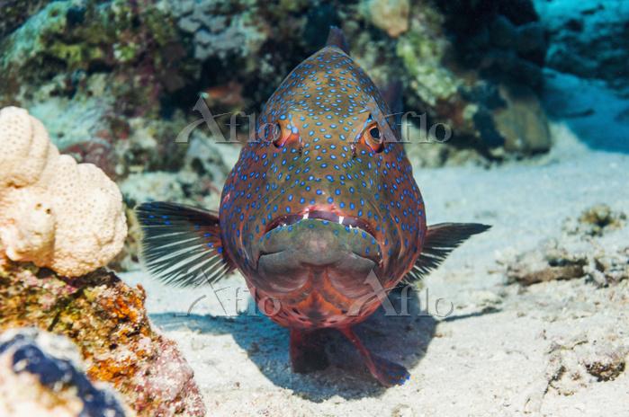 Red Sea Coral Grouper (Plectro・・・