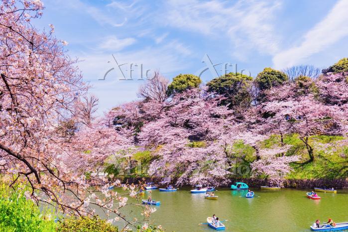 東京都 皇居 桜満開の千鳥ヶ淵 ソメイヨシノ