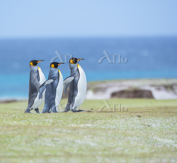 King penguins (Aptenodytes pat・・・