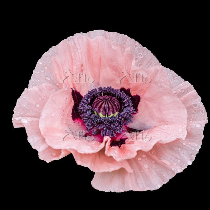 Pink oriental poppy flower hea・・・