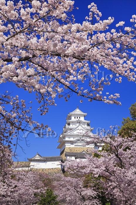 兵庫県 桜と姫路城