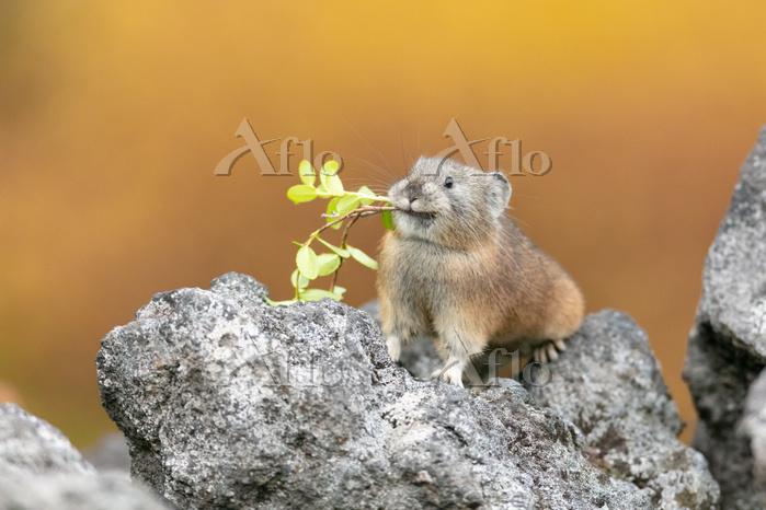 エゾナキウサギ秋の貯食活動