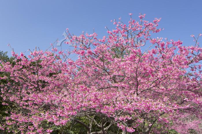 沖縄県 国頭村 寒緋桜