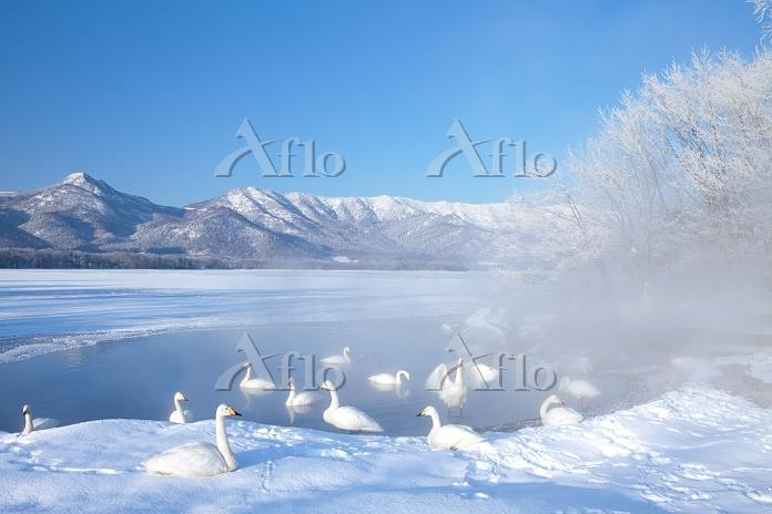 北海道 屈斜路湖 ハクチョウ