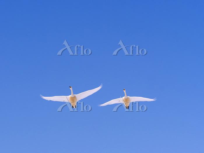 北海道 白鳥 飛翔 屈斜路湖 阿寒摩周国立公園