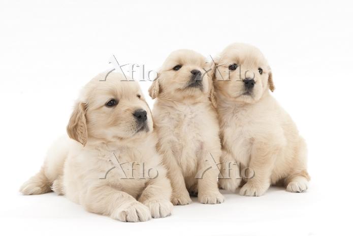 ゴールデンレトリバー 3頭の仔犬