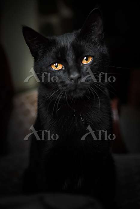 Portrait of black domestic cat