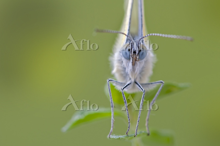 Small white (Pieris rapae) por・・・