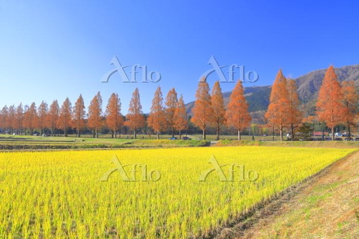滋賀県 秋のメタセコイア並木