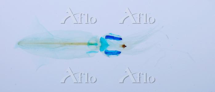 アオリイカ 透明骨格標本
