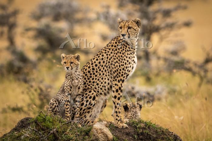 Cheetah (Acinonyx jubatus) and・・・