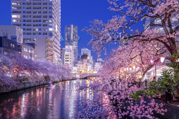 神奈川県 春の大岡川沿いの夜桜
