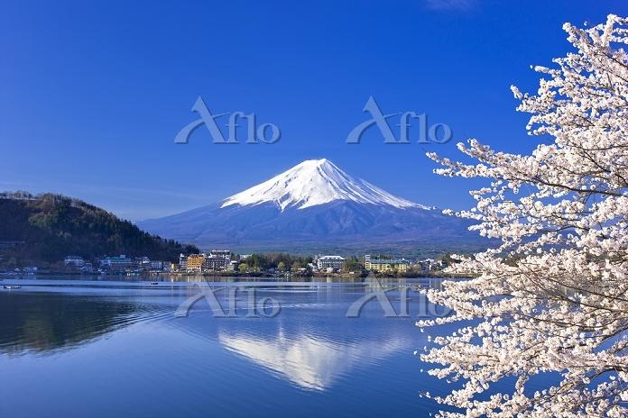 山梨県 富士山と河口湖のサクラ