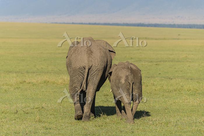 African elephant, Loxodonta af・・・