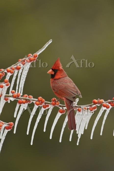 Northern cardinal, also redbir・・・