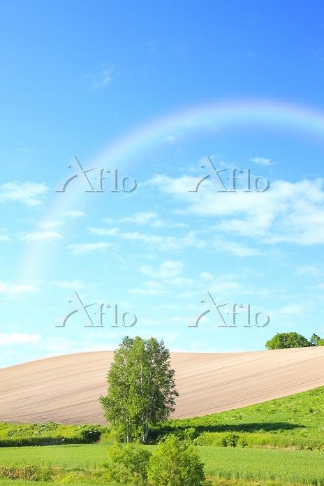 北海道 美瑛 丘陵の畑に立つ木と虹