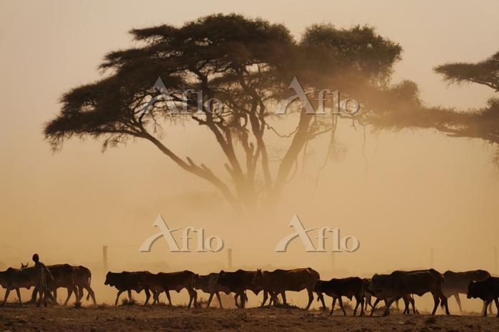 ケニア ウシの放牧