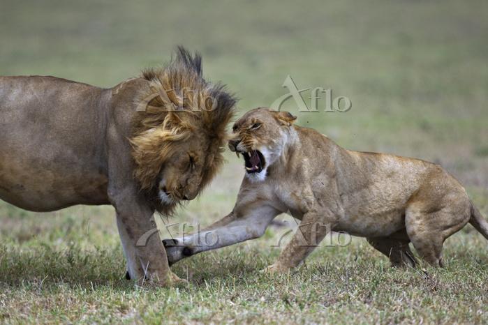 African lion (Panthera leo) li・・・