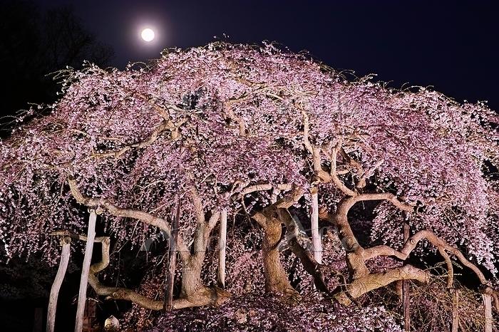 福島県 中島の地蔵桜