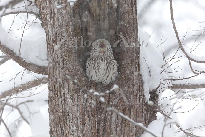 エゾフクロウ1羽 雪の中
