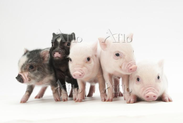 5頭の仔豚